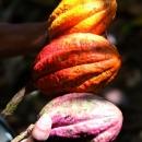 *MuseeGourmandduChocolat-Histoire cacao